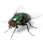SOFAST Fly Control Imidacloprid Granules