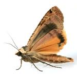 Rentokil Clothes Moth Glue Trap Refills Twin Pack