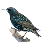 Starling Spikes